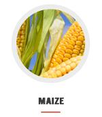 maize_at_nagra_agri_farm