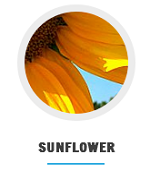 sunflower_at_nagra_farms