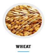 wheat_at_nagra_farms